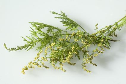 Artemisia annua kaufen